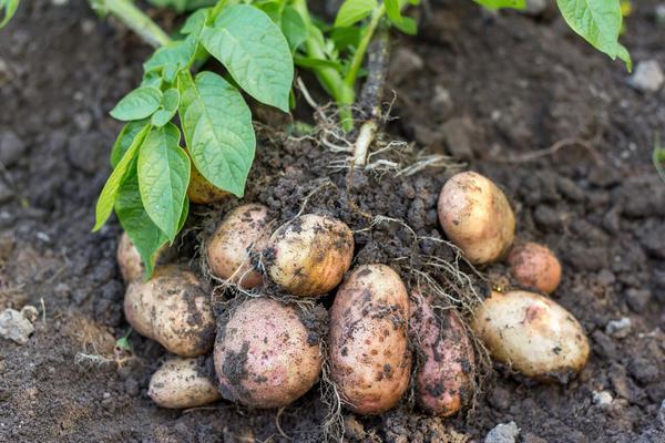 Каким уродился картофель у вас?