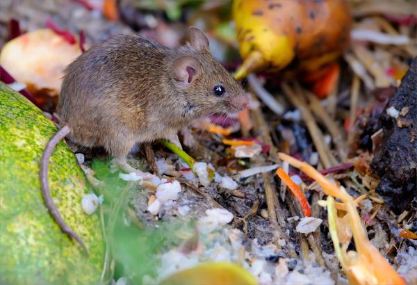 Как отпугнуть мышей?