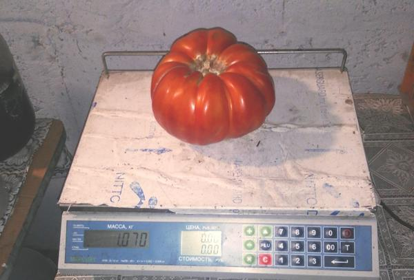 «Самый крупный помидор» – 1 место –  Тухватуллин Раиль, Татарстан
