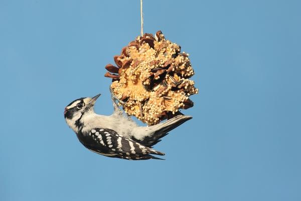 Шишки - источник питания для белок и птиц