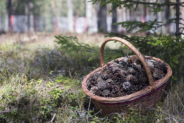 Лучше всего выбирать шишки самостоятельно - прямо в лесу