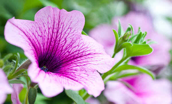 Все петунии обильно цветут только на рыхлой, плодородной почве