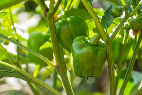 Для домашнего огорода нужно подбирать раннеспелые самоопыляемые гибриды