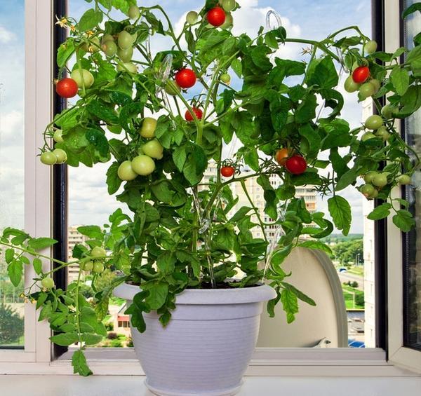 Вырастить помидоры в домашних условиях может любой человек