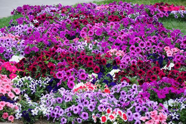 В последние годы большой популярностью стала пользоваться группа сортов с мелкими цветками