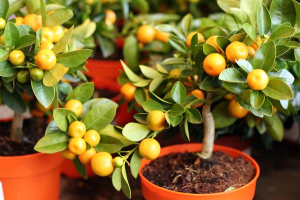 Если ваша цель - собирать лимоны или апельсины прямо с подоконника, лучше найти черенки нужных сортов и привить свои сеянцы