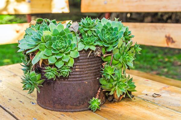 Здоровое, красивое растение украсит любую емкость