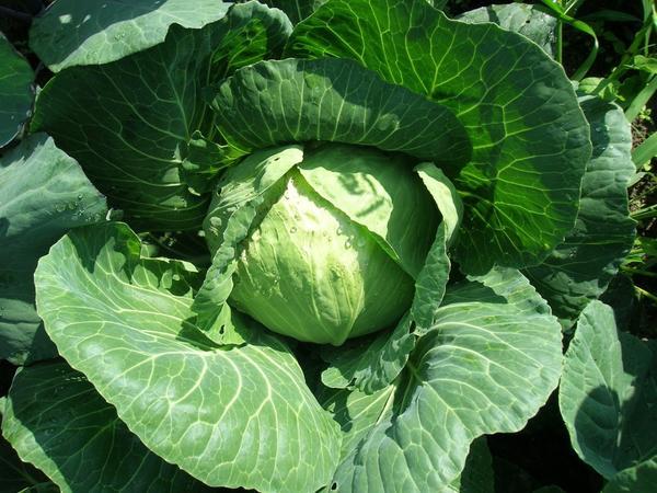 Капуста - холодостойкое растение