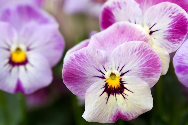 Viola hybrida (x cornuta)