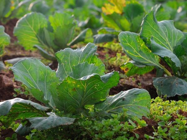 Нужно каждый год выращивать капусту на новом месте и хотя бы четыре года не возвращать культуру на старое