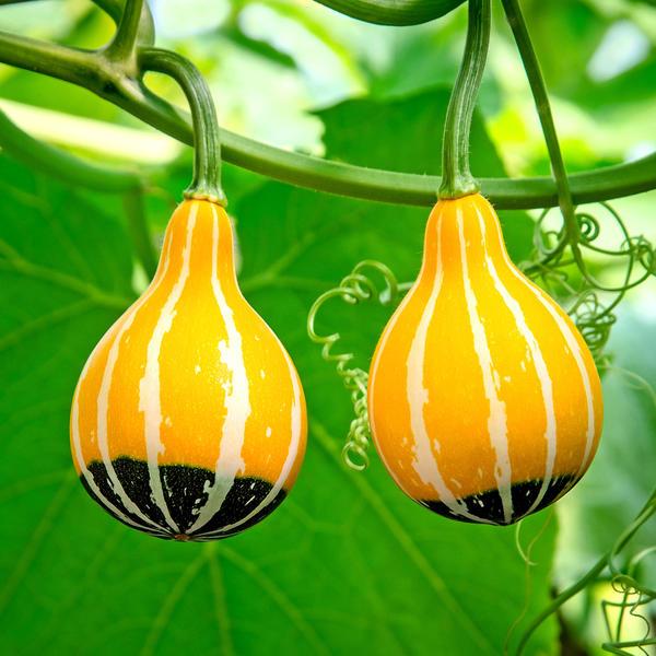 Агротехника декоративной тыквы не отличается от обыкновенной