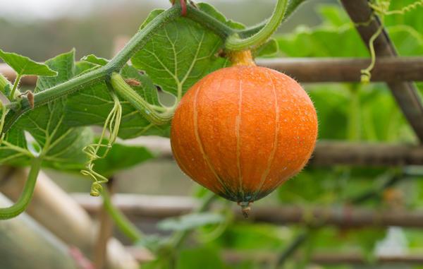 Декоративные тыквы чаще бывают плетистыми, но есть и кустовые сорта