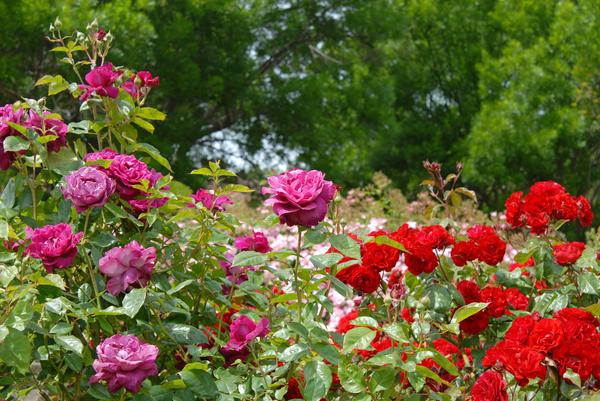Даже весь сад может быть посвящён розам, и это будет красиво и интересно