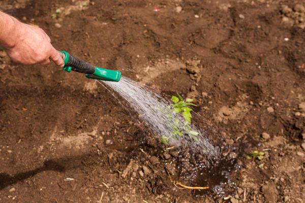 Иногда чтобы спасти растения, будет достаточно хорошенько опрыскать их холодной водой
