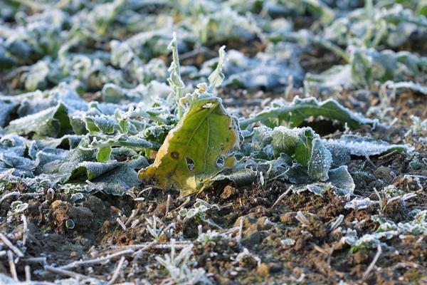 Лед не успевает растаять и просто разрывает клетки растения изнутри, приводя к их гибели.