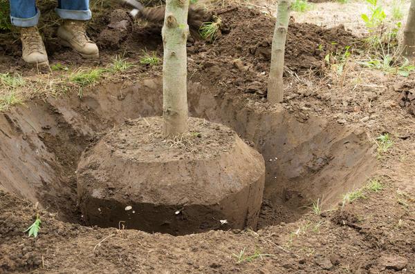 Подлежат пересадке только здоровые деревья