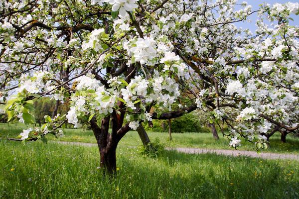 Как бы ни был запущен старый сад, деревья в нем дают плоды