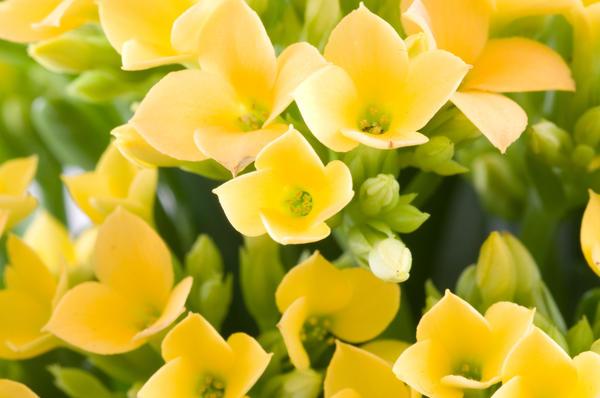 Каланхоэ - любимое растение Гете