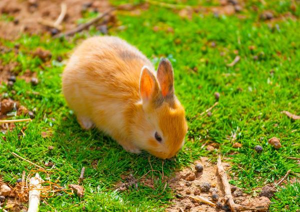 Половозрелыми кролики становятся достаточно быстро