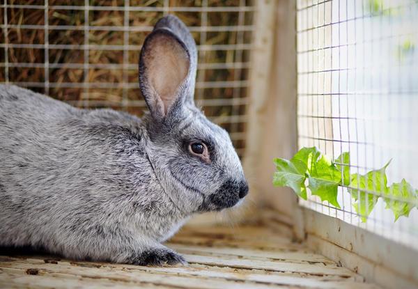 В тесном помещении кролики начинают нервничать и драться друг с другом