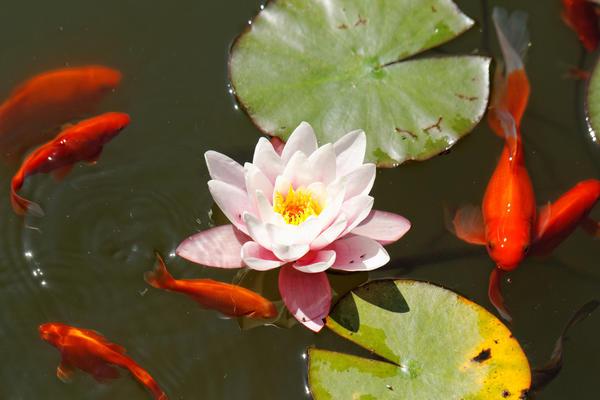 О том, кто, как и зачем живет в садовом пруду