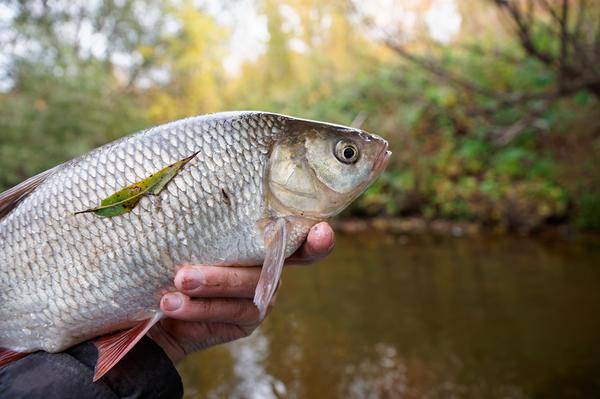 Язь в руке рыбака