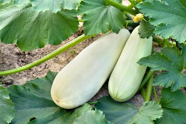 Кабачок, который растёт рядом с тыквой, будет плодоносить меньше