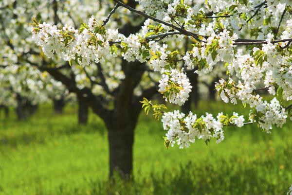 Русскому саду не обойтись одними цветами и кустарниками, его нужно озеленить и деревьями