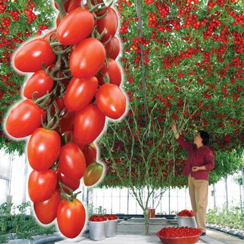 Томат-дерево Спрут F1 сливка, фото с сайта http://abekker.ru