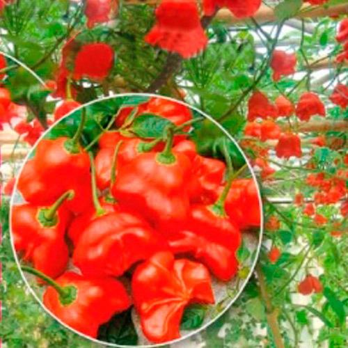 Перец-дерево Спрут Новогодний F1, фото с сайта http://abekker.ru