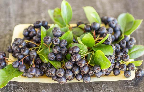 Черноплодная рябина - одна из самых полезных плодовых культур