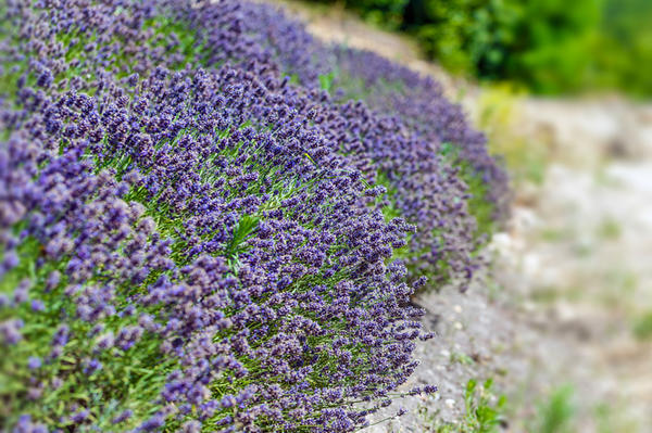 Терпкого аромата саду добавят лаванда, тимьян или полынь.
