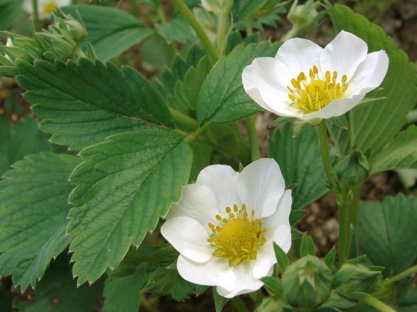 Одна из самых распространённых ягод на дачных участках - садовая земляника, которую называют ещё клубникой или викторией