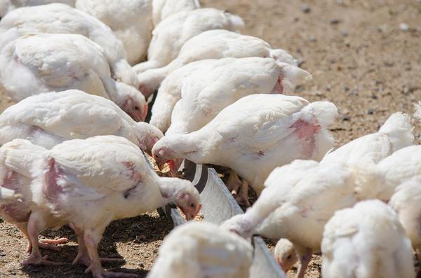 Подрастающие цыплята клюют корм
