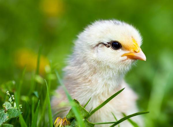 Цыплёнок в траве