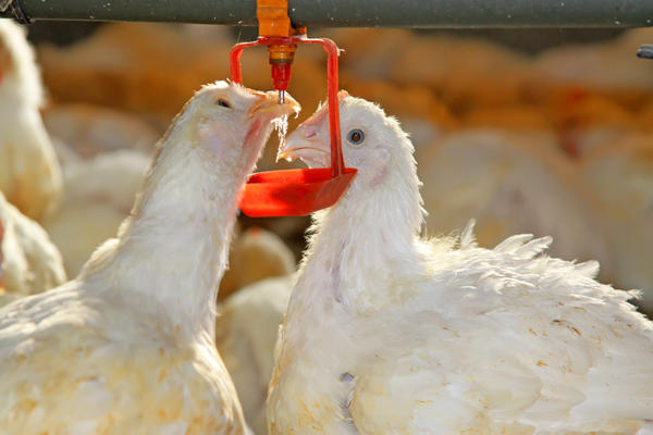 Обильное питье нужно птицам, чтобы регулировать температуру тела