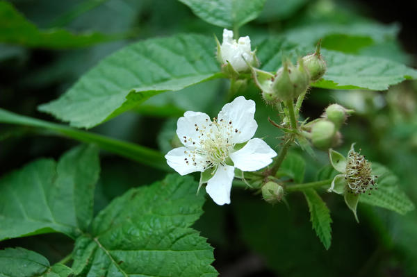 Период цветения одного цветка 3–5 суток