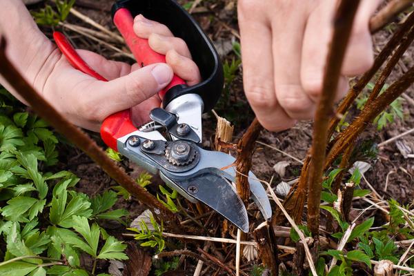 Отплодоносившие стебли вырезают без оставления пеньков