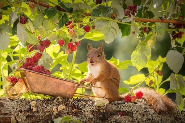 Так ли хорош у вас урожай малины?