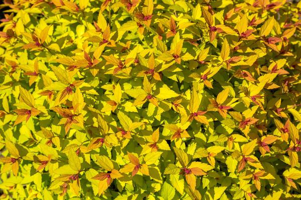 Пузыреплодник калинолистный (Physocarpus opulifolius)