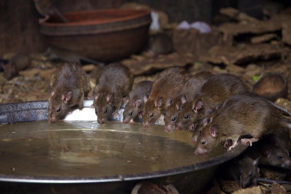 Крысы - опасность для цыплят