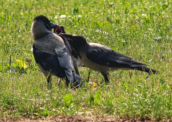 Вороны - опасность для цыплят