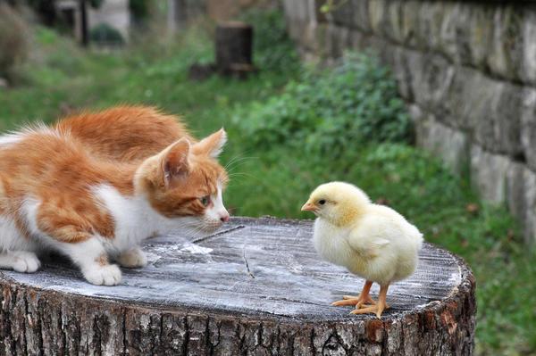 Кошки - опасность для цыплят