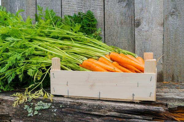 Болезни моркови разглядеть довольно сложно