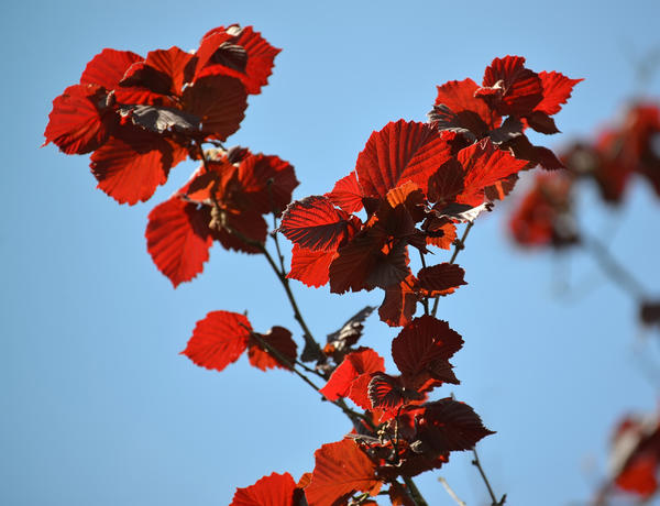 Яркая листва лещины большой Purpurea