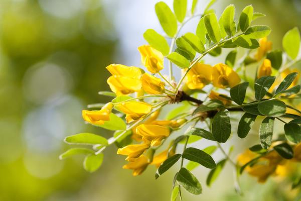 Карагана древовидная, или Жёлтая акация (лат. Caragаna arborеscens)