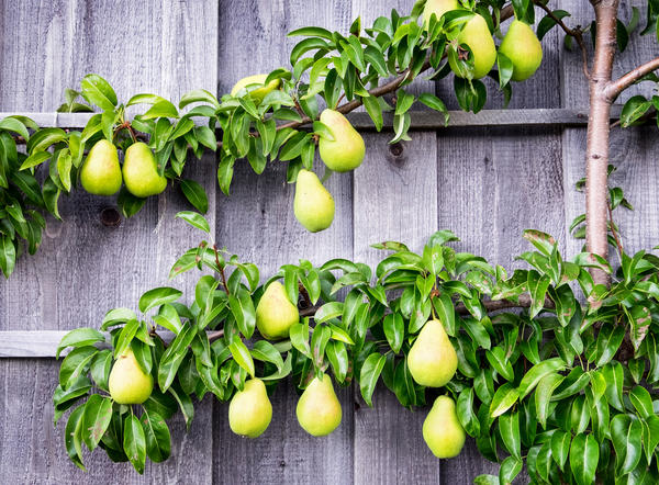 Груши и яблони дают более обильный урожай раннего созревания благодаря сквозистому строению кроны.