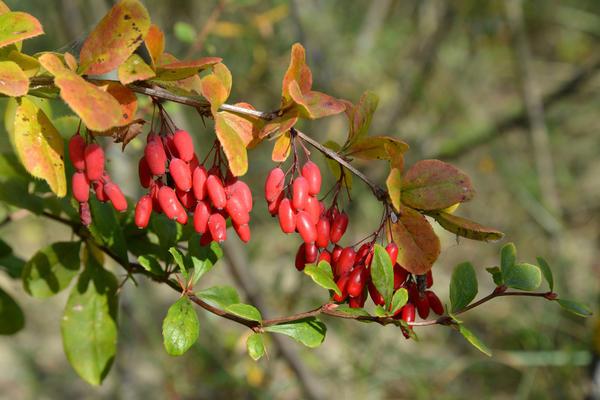 Барбарис обыкновенный (Berberis vulgaris L.)
