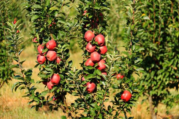 Уход за колоннами ничем не отличается от содержания привычных яблонь
