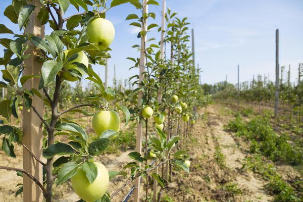 Некоторые сорта колонновидных яблонь начинают давать урожай в однолетнем детском возрасте